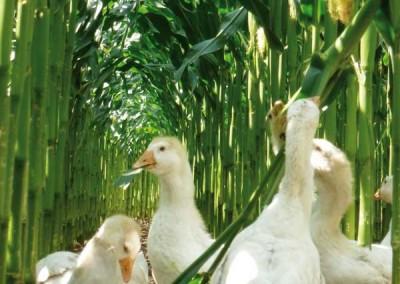 Gänse im Maisanbau
